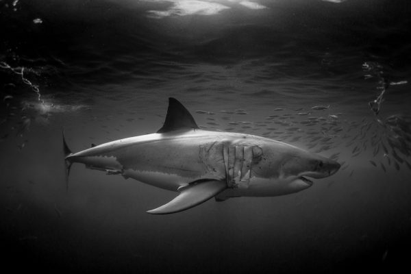 White Sharks of Guadalupe Island Mexico