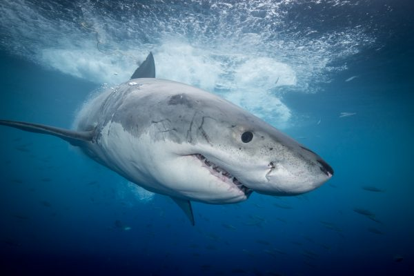 The Movie: White Sharks of Guadalupe Island